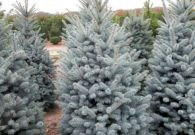 Picea Superblue 175-200 cm v01