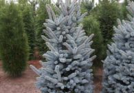 Picea Superblue 175-200 cm v02