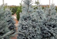 Picea Superblue 200-250 cm v01