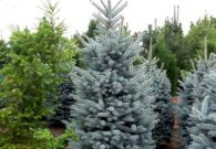 Picea Superblue 200-250 cm v02